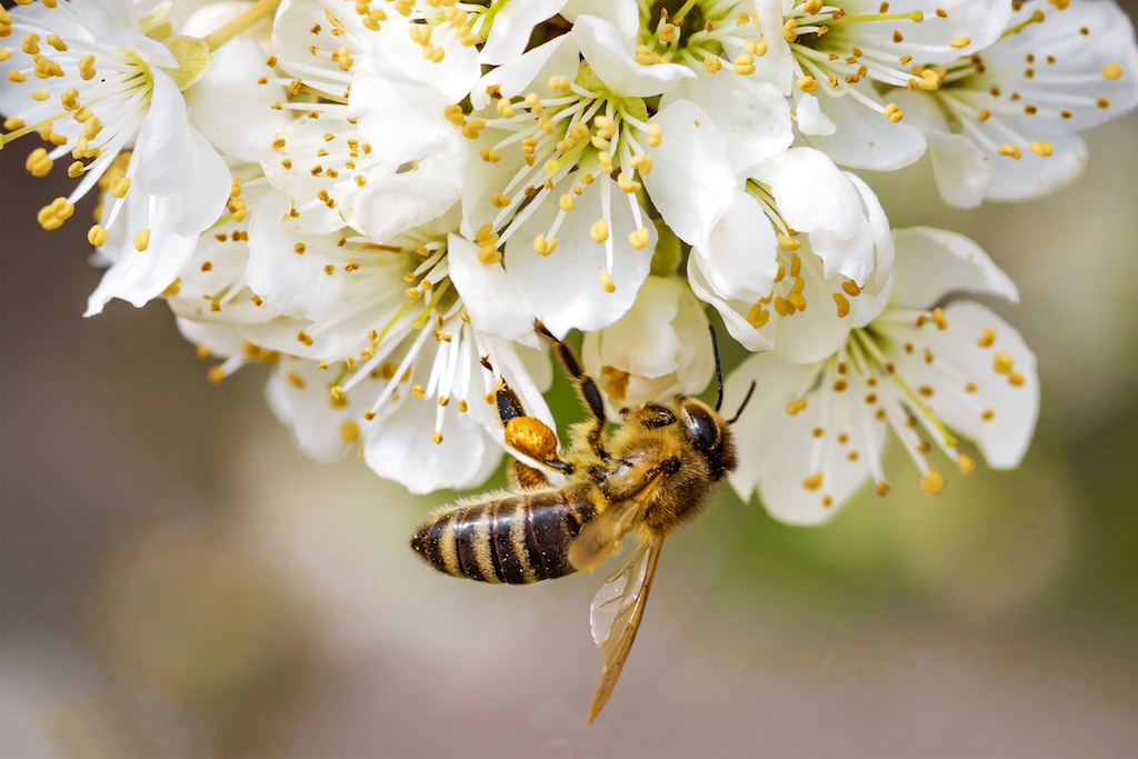 A Critical Component of Our Agriculture System: Honey Bees