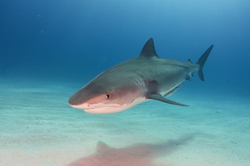 Shark Trio Kills Young California Snorkeler in the Bahamas