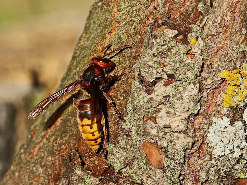 'Murder Hornets' Found In U.S. For First Time Ever