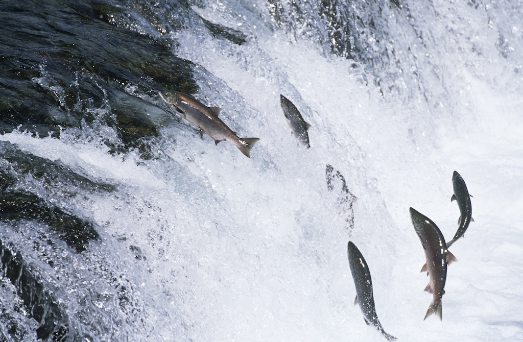 Are Genetically Modified Salmon as Safe as Wild-Caught Fish?
