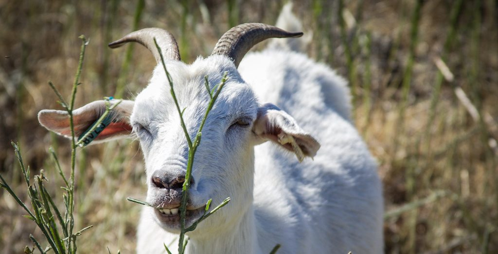 EDM Friday Briefing: Goats Help Reduce Vegetation in Contra Costa Ahead of Predicted Historic Wildfire Season