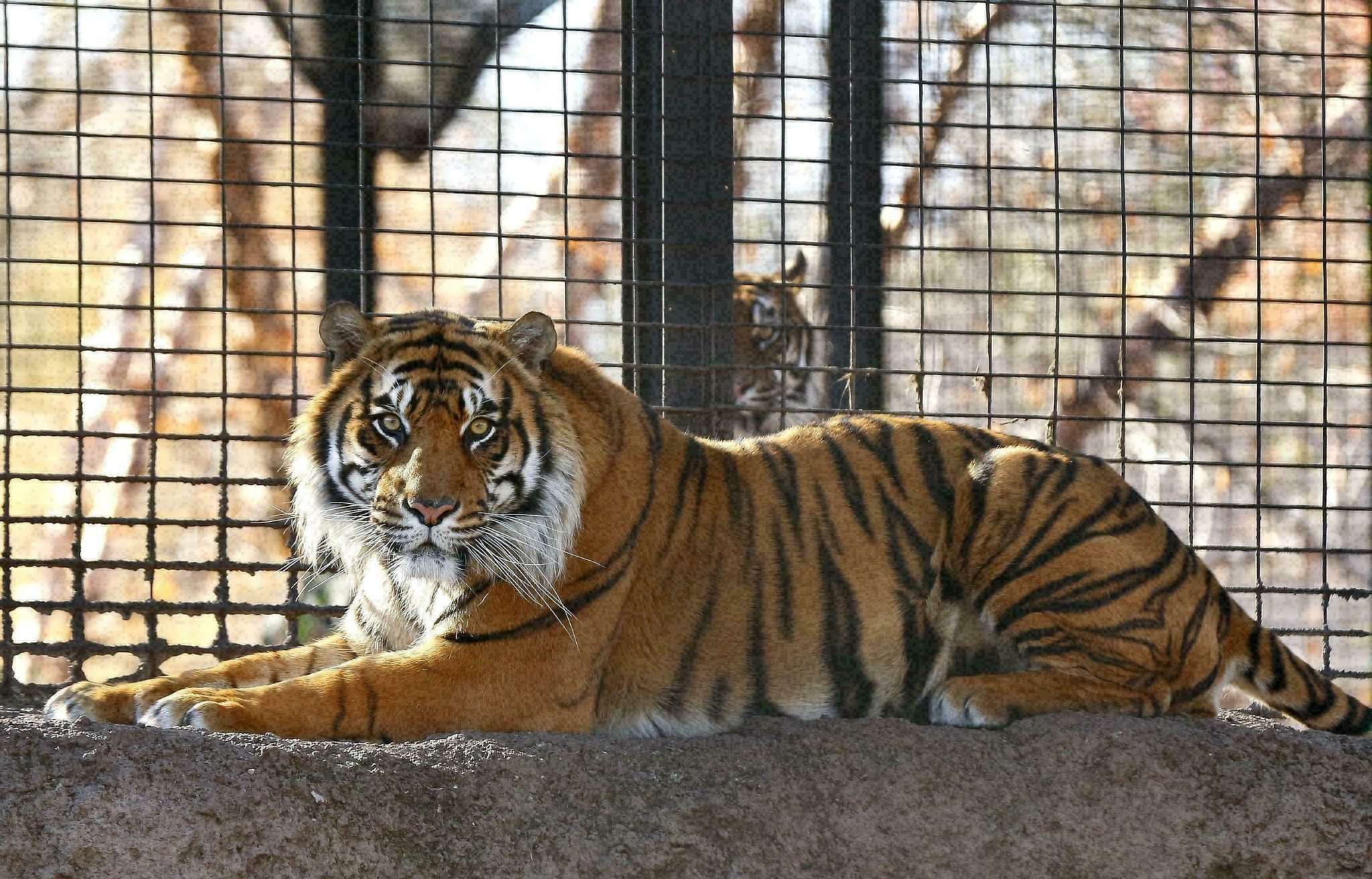 Topeka Zoo: Protocols weren't followed before tiger attack
